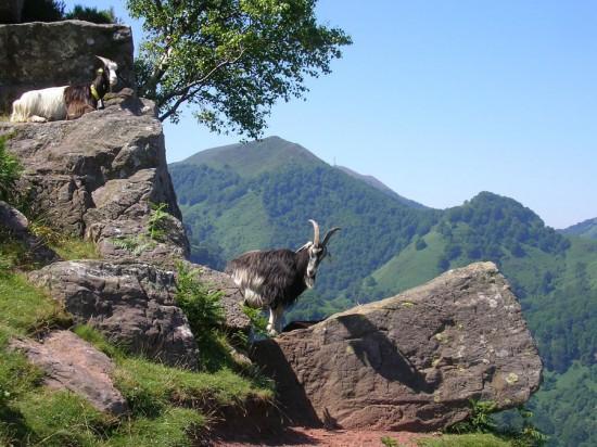 Goats on the Mountain Slopes of Itxusi