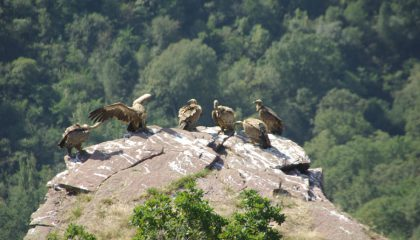 Vultures coming to rest on the rocky crags of Itxusi