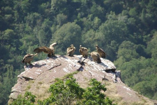 vultures itxusi900 550x367 - Griffon Vulture Nesting Grounds in Itxusi