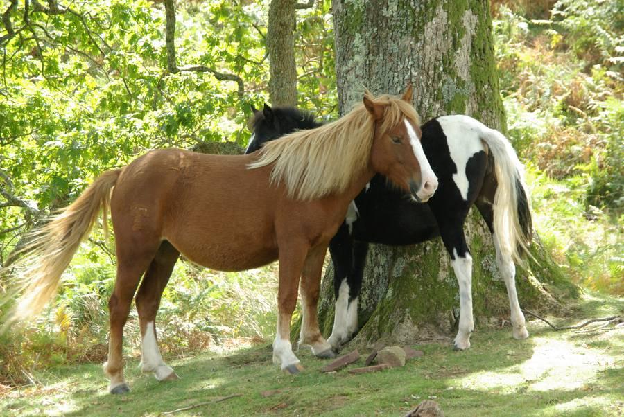 Wild horses in the Spanish Pyrenees