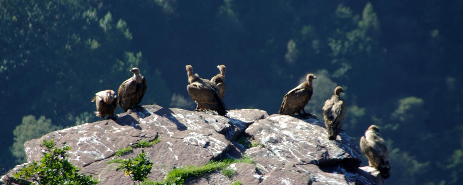Vulture Nests