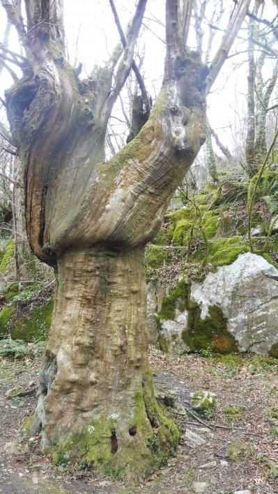 Hornbeam trees near the healing springs of San Juan Xar