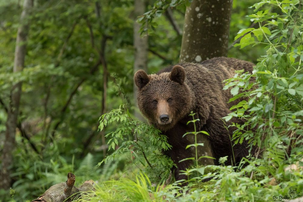 A brown bear hides in the woods in the Pyrenees