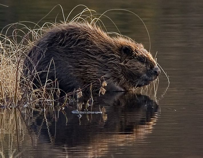 An Eurasian beaver in the last light of day