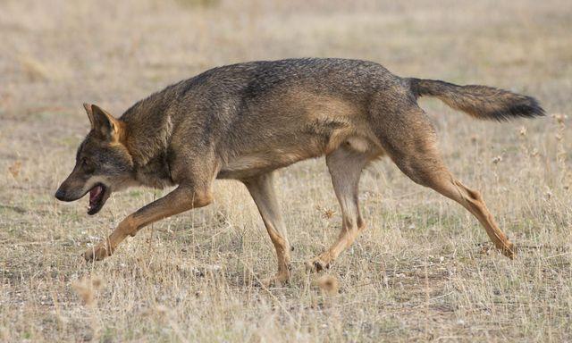 A grey wolf follows finds a scent by Carlos Delgado