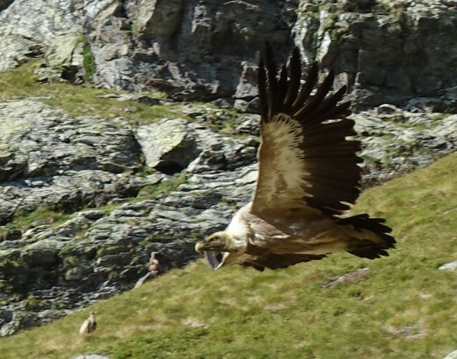 Griffon vulture near the nesting grounds in Itxusi in northern Navarre