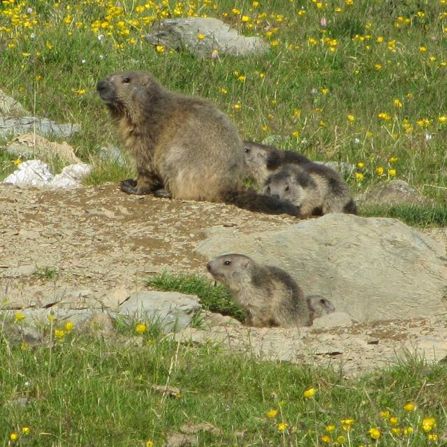 A family of marmottes in the Pyrenees