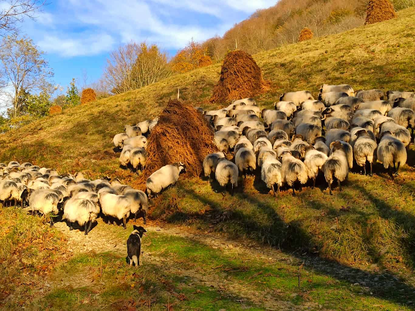 Sheep dog at work in the Pyrenees