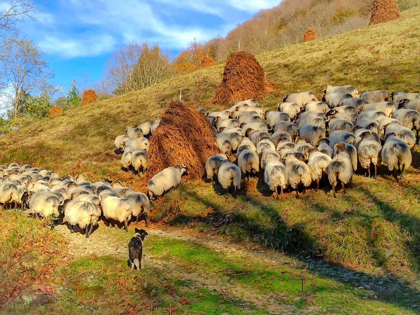 sheepdogs in Ameztia