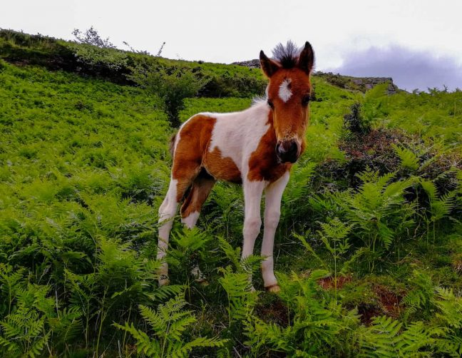 foal in the Basque Pyrenees