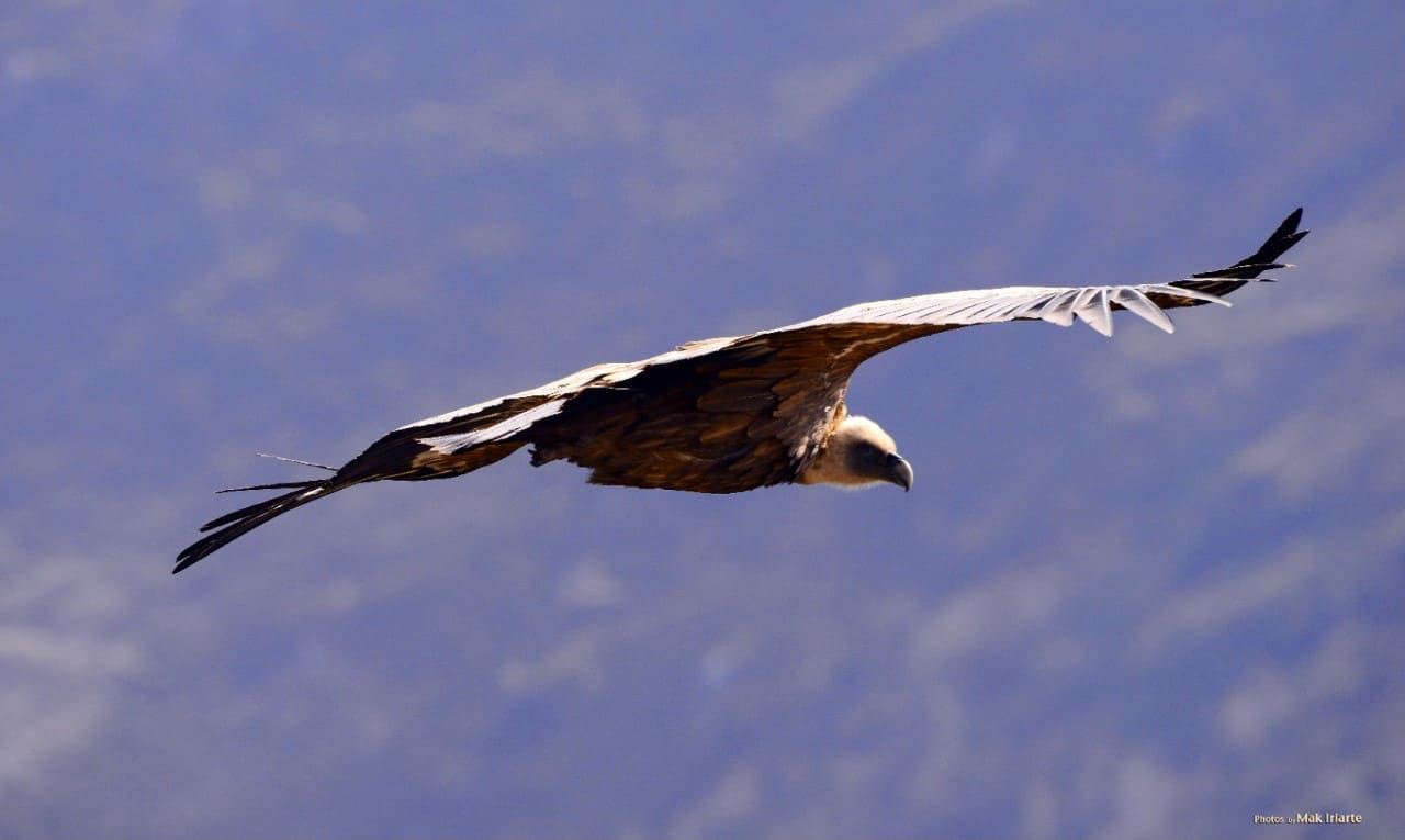 Griffon vulture in the Pyrenees